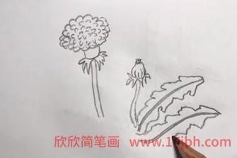 蒲公英简笔画图片